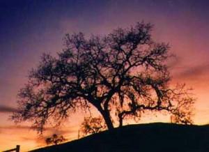Santa Ynez Valley Oak Against Sunset