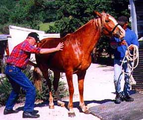 'm going to illustrate this blog post with a simple tale springing from ranch life. This is a true story, obviously, since those are photos. This is The Day  Corcovado Learned  to Load and Unload from a Trailer. Note that the horse is not freaking out, pitching a fit, or tramping his handlers. No, Corco is doing something more effective. He's adopted The Mule Stance. My mind is following Corco's example as I contemplate rewriting Mogollon.