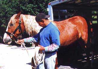 Tony leads Corcovado out of the trailer.